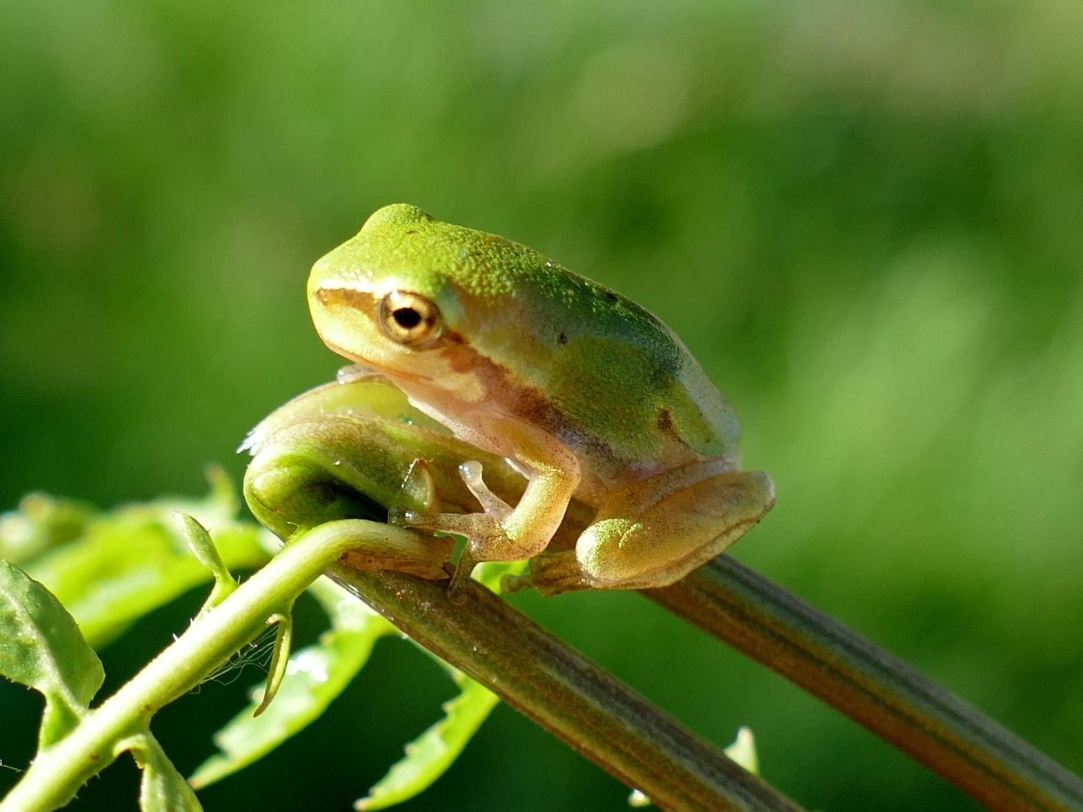 Ein junger Grasfrosch